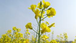 油菜花的栽培技术以及注意事项