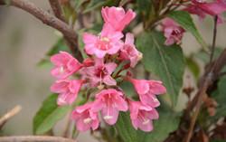 锦带花的介绍