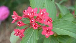 锦带花的栽培技术