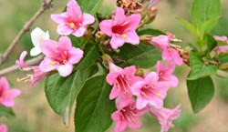 锦带花的品种分类