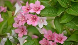锦带花的作用用途