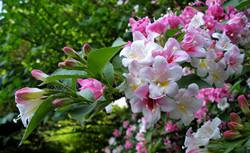 锦带花花语 锦带花的文化背景
