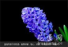 蓝色风信子花语