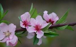 盆栽梅花养殖方法