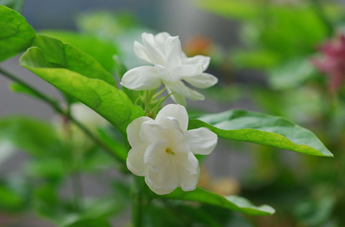 菲律宾的国花是什么?(图)