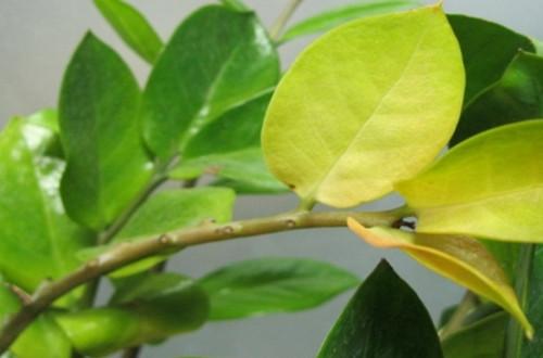 金钱树叶子发黄怎么办 金钱树叶子发黄的原因(图