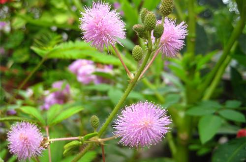 含羞草怎么养 含羞草的养护方法有哪些(图)