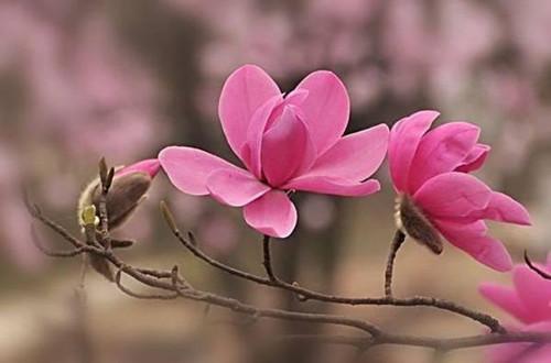 <b>木兰花的花语是什么(图)</b>