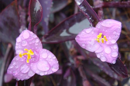 <b>紫鸭跖草(紫叶草)图片</b>