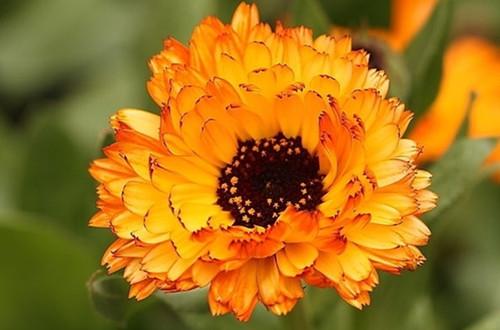 <b>金盏菊的花语是什么 金盏菊的象征意义(图)</b>
