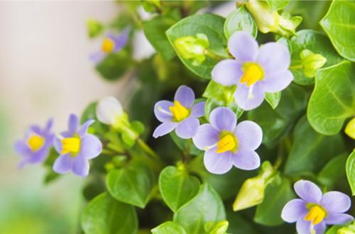 <b>紫芳草的花语是什么(图)</b>