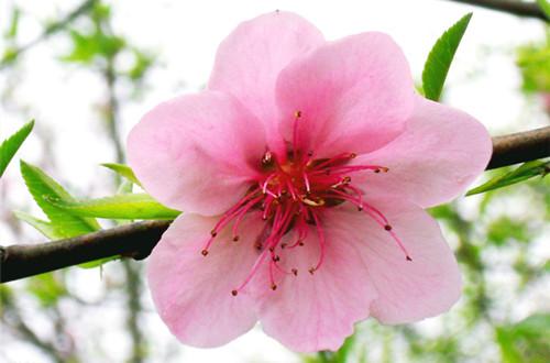 <b>三月的花神是谁?桃花(图)</b>