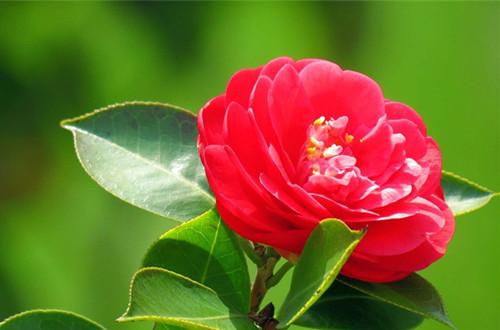 十一月的花神是谁?山茶花(图)