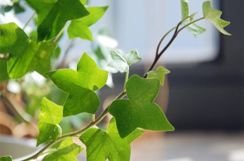 常春藤的风水学应用 常春藤的风水作用有哪些(图)