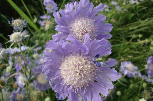 <b>紫盆花图片</b>