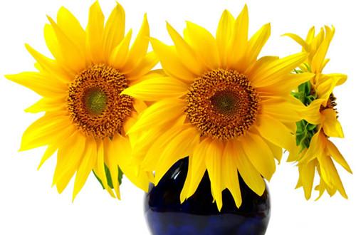 向日葵怎么养 盆栽向日葵的养护方法(图)