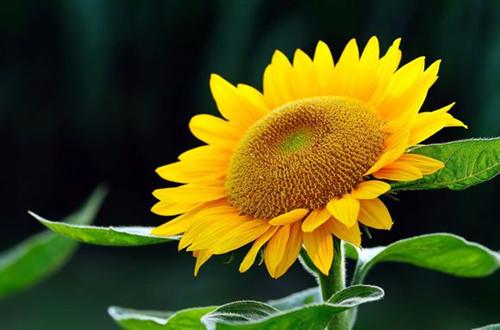 <b>金牛座女生有什么专属花 向日葵(图)</b>