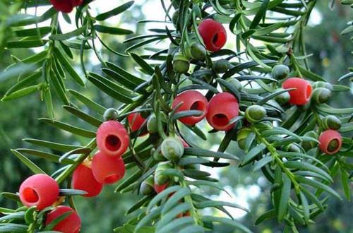 红豆杉怎么养 红豆杉的养殖方法(图)