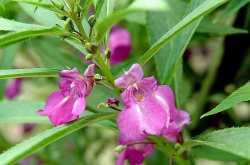 凤仙花的花语是什么 凤仙花有什
