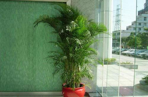 散尾葵有什么风水应用 散尾葵的风水应用(图)