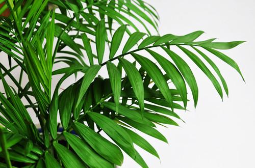 散尾葵对家居环境的作用有哪些(图)