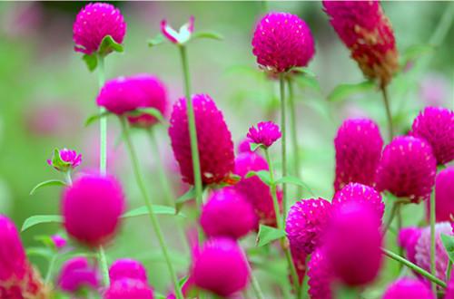 千日红的花语是什么 千日红有什么赠花礼仪吗(图)