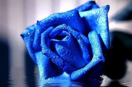 蓝色妖姬的花语是什么 蓝色妖姬