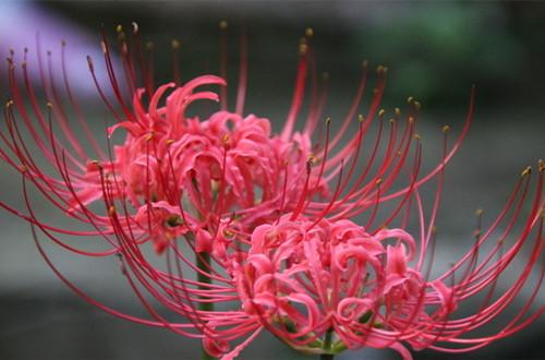 彼岸花的花语是什么 彼岸花的花