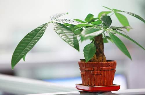 发财树土培改水培方法 土养发财树怎么水培(图)