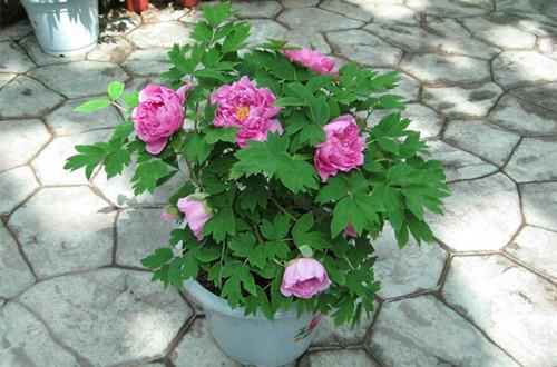 怎么在花盆中栽植牡丹苗(图)