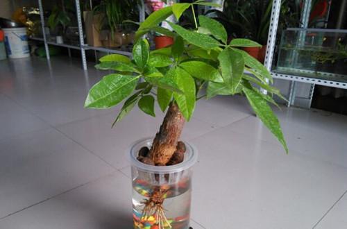 水培发财树烂根怎么办 怎么预防水培发财树烂根(