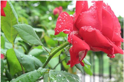 哪种月季花香味飘的远 月季香味程度排名排行榜(