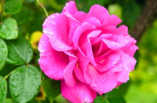 <b>蔷薇怎么浇水 蔷薇几天浇一次水(图)</b>