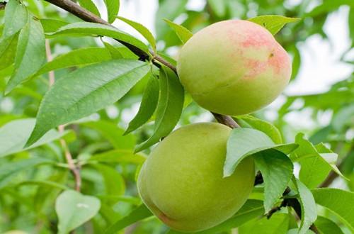 <b>桃树什么时候剪枝最好 桃树的修剪方法与注意事项(图)</b>