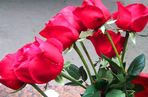 <b>盆栽玫瑰花怎么养 盆栽玫瑰花的养殖方法和注意事项(图)</b>