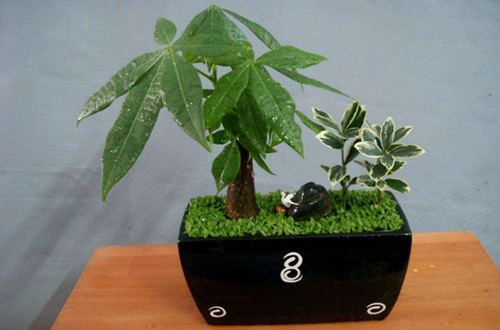 发财树需要松土吗 怎么给发财树松土、注意事项
