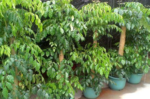 <b>绿宝树几天浇一次水 绿宝树大概浇多少水(图)</b>
