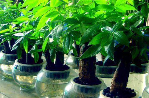 发财树叶子下垂是怎么回事 发财树叶子下垂怎么