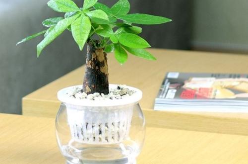水培发财树徒长是怎么回事 水培发财树徒长怎么