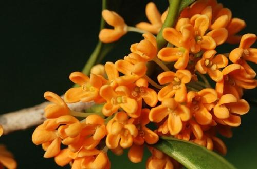 盆栽四季桂花怎么养 盆栽四季桂花的养殖方法和