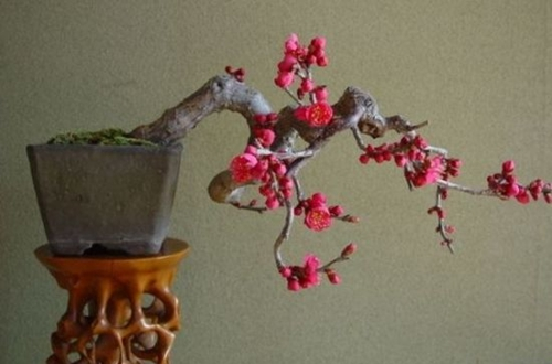 梅花根部发几颗芽是否保留 梅花从根部长出的新