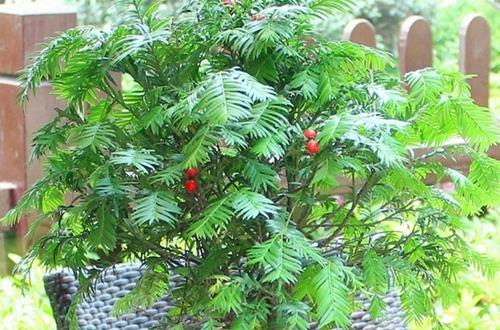 红豆杉怎么浇水 红豆杉多久浇一次水(图)