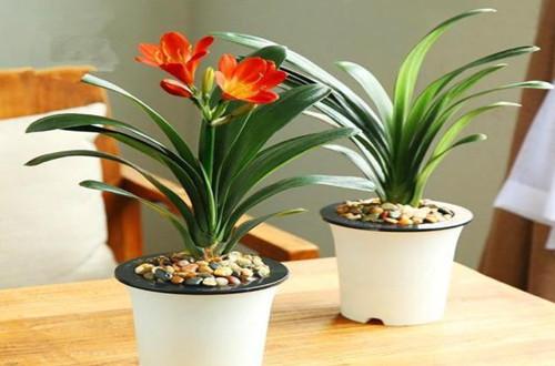 办公室没阳光养什么花好 办公室没阳光养什么植物好(图)
