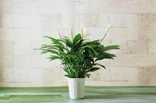 办公室养什么花好 办公室养什么植物好(图)