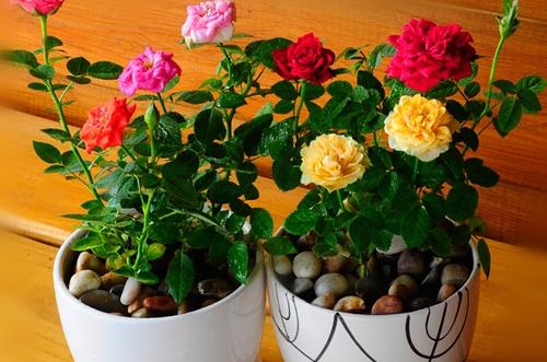 玫瑰花叶子干枯是怎么回事 怎么办(图)