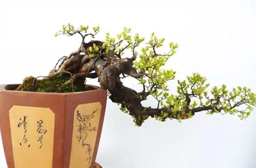 雀梅盆景如何修剪 雀梅盆景修剪图解及注意事项