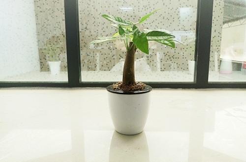 放桌上的发财树怎么挑 养护有哪些注意事项(图)