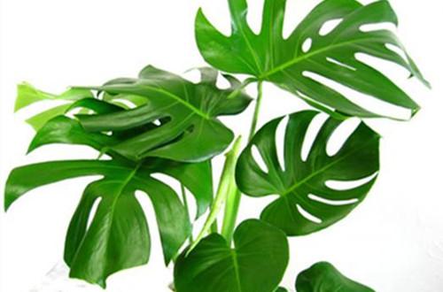 龟背竹什么时候换盆好 龟背竹怎样换盆、有哪些