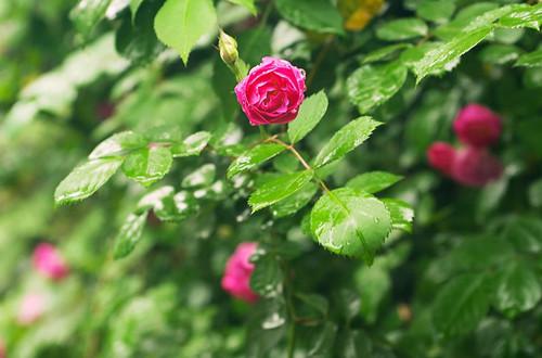 爬藤月季的修剪方法和注意事项 爬藤月季怎么修
