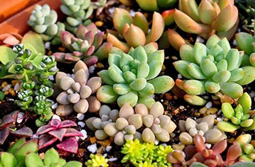冬天冻不死 不怕冷不怕冻的多肉植物有哪些(图)